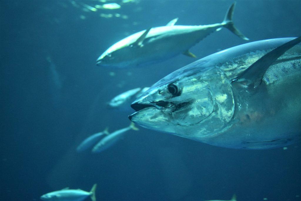 school of tuna